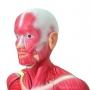 Modelo Anatomico Manequim Muscular de 170cm, Assexuado, em 33 Partes