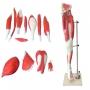 Modelo Anatomico Músculos do Membro Inferior (perna)