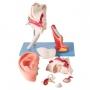 Modelo Anatomico Ouvido Ampliado, Clássico, em 8 Partes