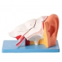 Modelo Anatomico Ouvido Ampliado, em 6 Partes