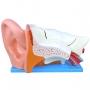 Modelo Anatomico Ouvido Ampliado em 6 Partes