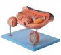 Modelo Anatomico Ovário Ampliado em 13 Partes