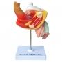 Modelo Anatomico Patologias do Sistema Urogenital Masculino