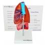 Modelo Anatomico Pulmão com Traqueia E Placa Explicativa