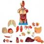 Modelo Anatomico Torso Muscular de 85 Cm