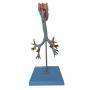 Modelo Anatomico Traqueia, Laringe E Árvore Brônquica