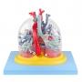Pulmão Transparente com Arvore Brônquica, Traqueia, Coração E Mediastino