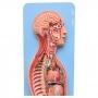 Sistema Nervoso Simpático E Parasimpático