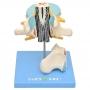 Vértebra Lombar c/ Cordão Espinhal, Nervo E Cauda Equina