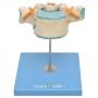 Vértebra Torácica c/ Cordão Espinhal