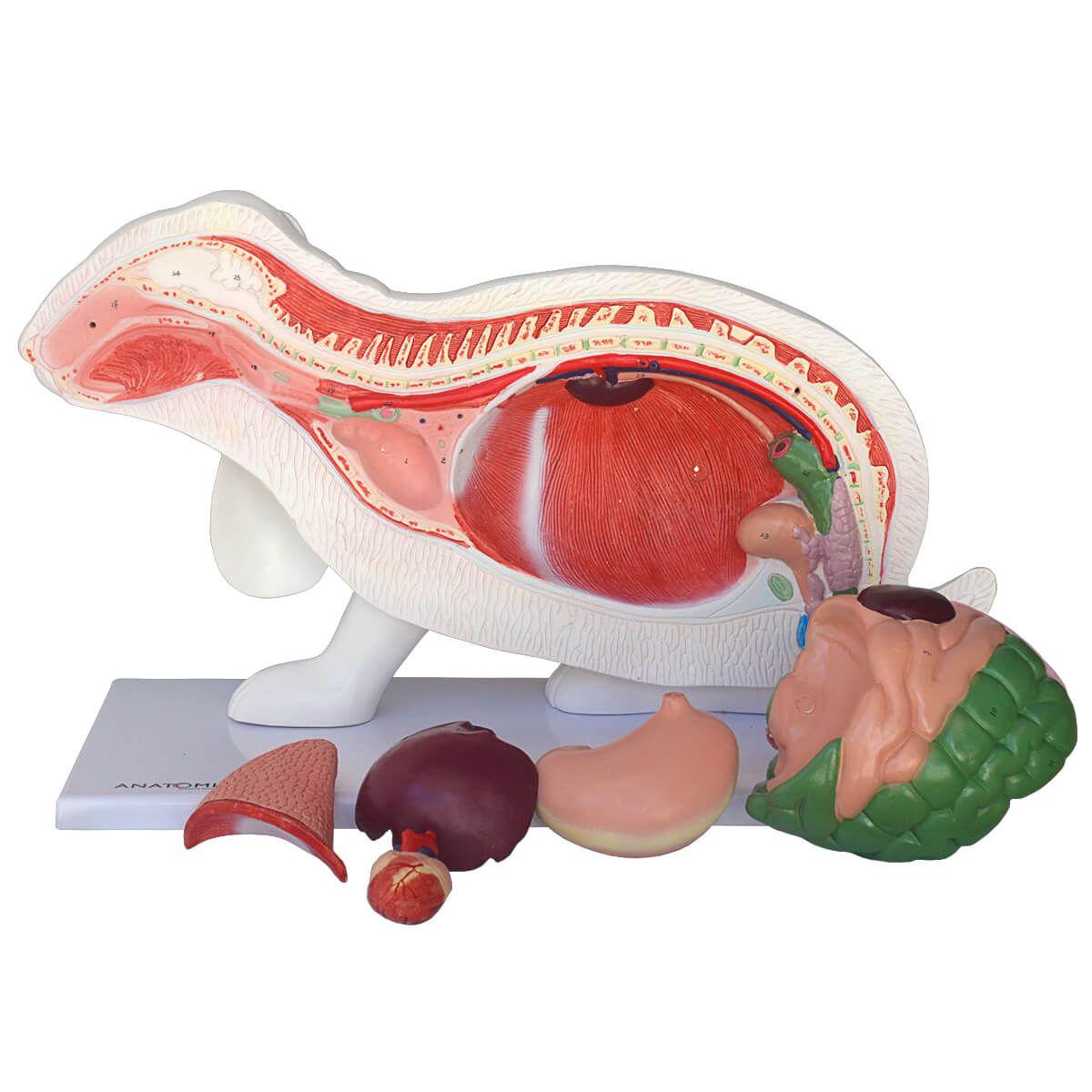 Anatomia do Coelho