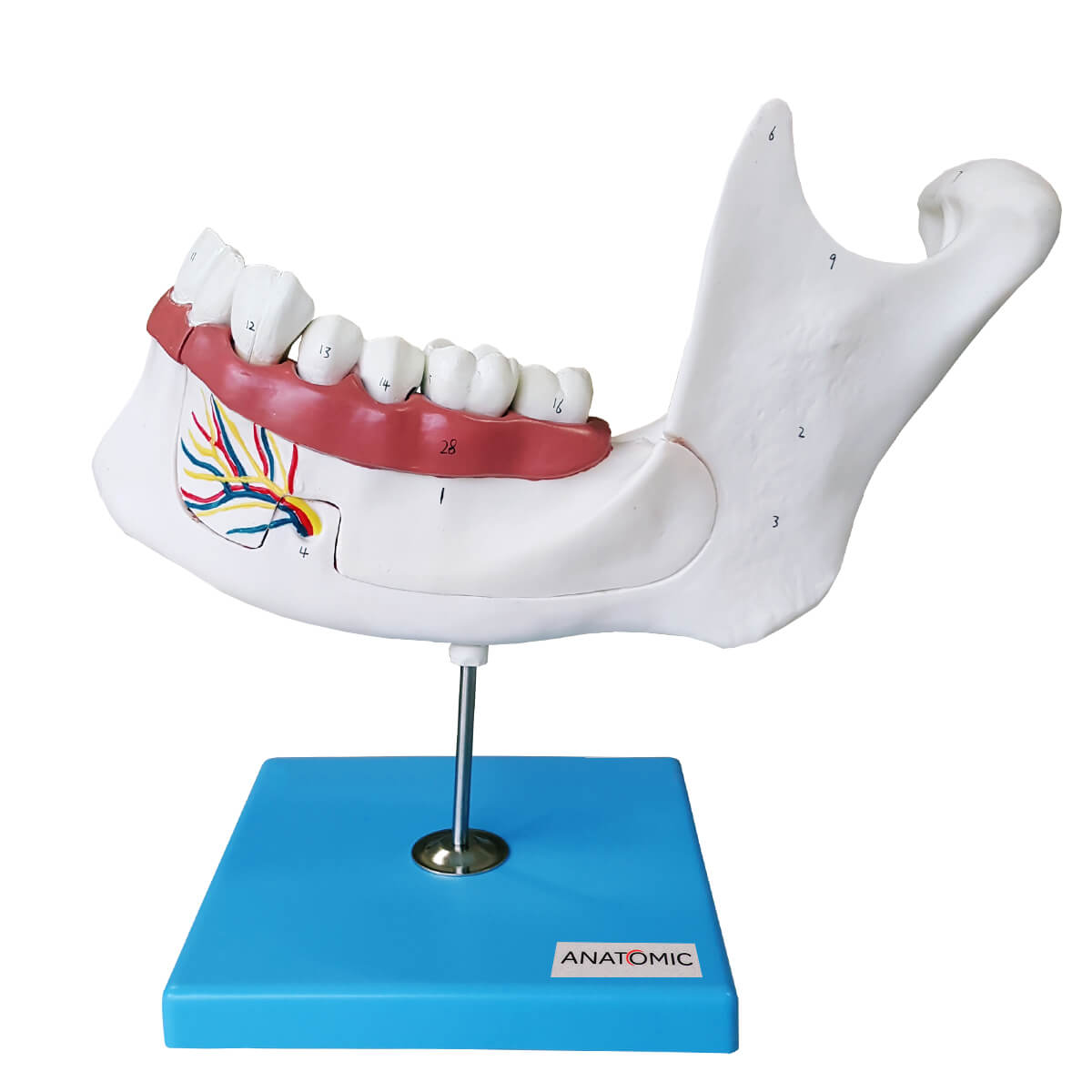Anatomia do Dente em 6 Partes