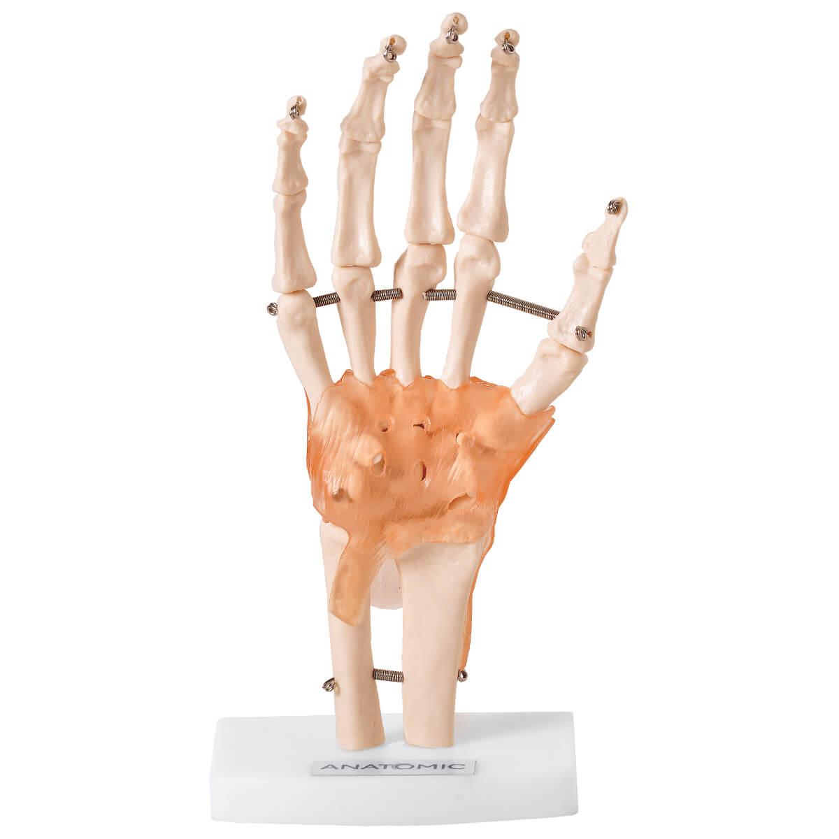 Articulação Da Mão com Ligamentos