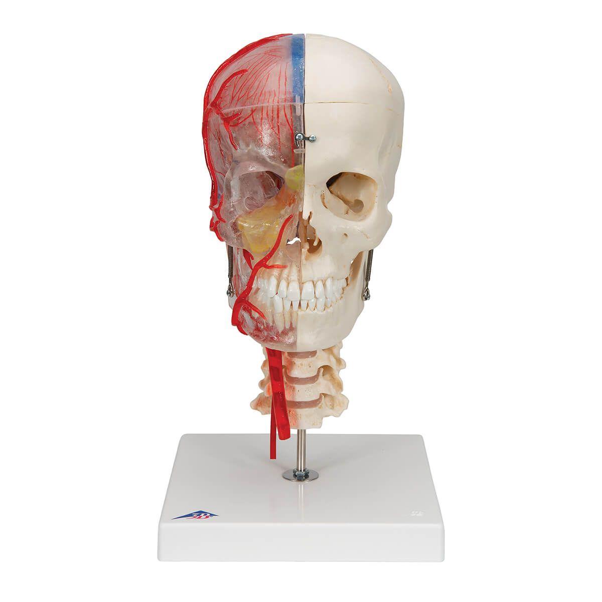 Bonelike Crânio - Versão de Luxo para Fins Didáticos, 7 Peças