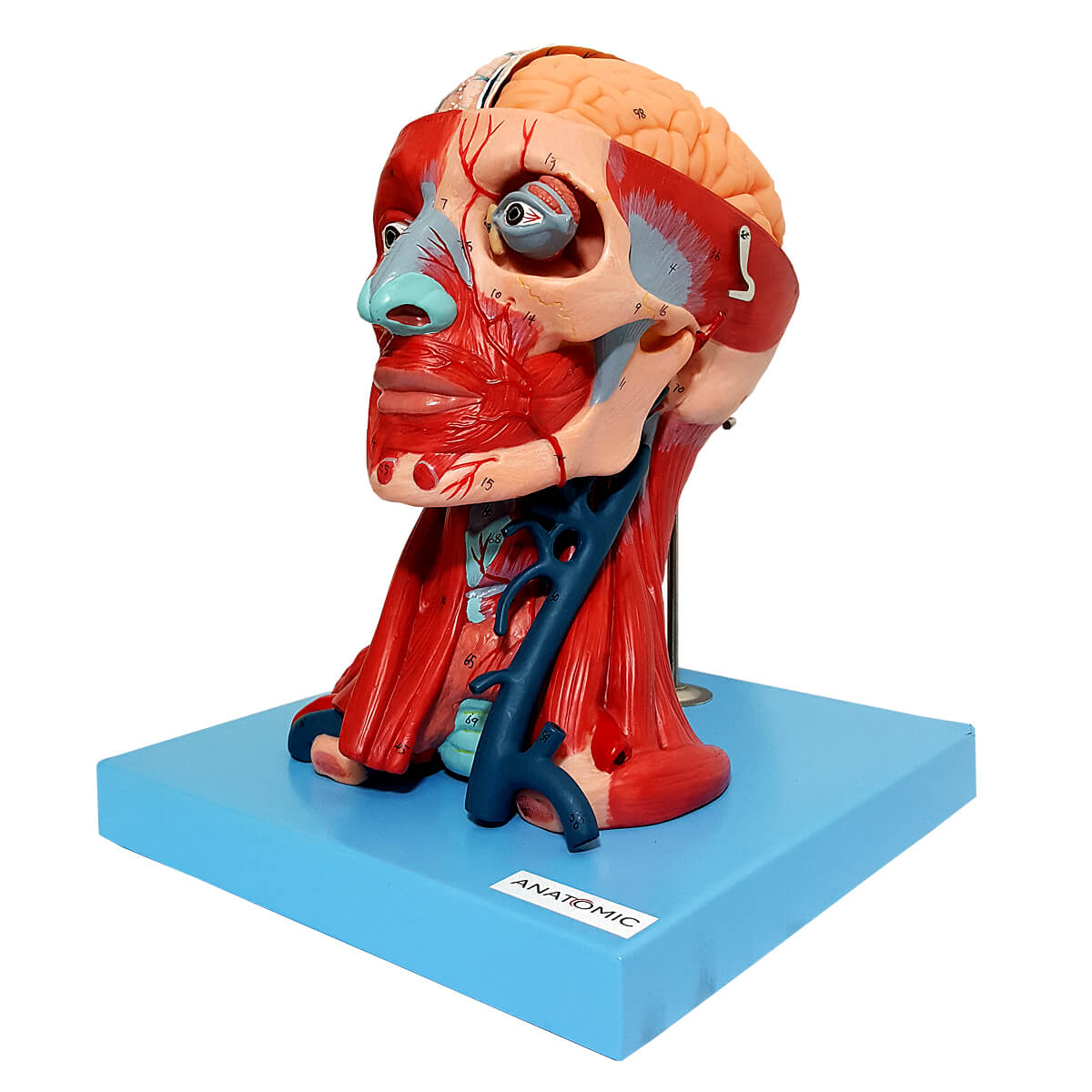 Cabeça com Músculos E Cérebro em 10 Partes