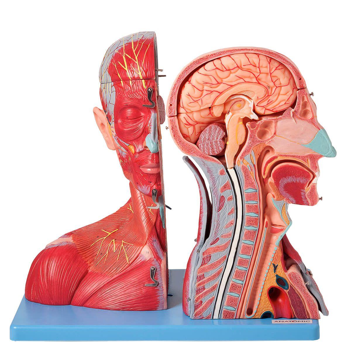 Cabeça E Pescoço Muscular, c/ Vasos, Nervos E Cérebro em 19 Partes