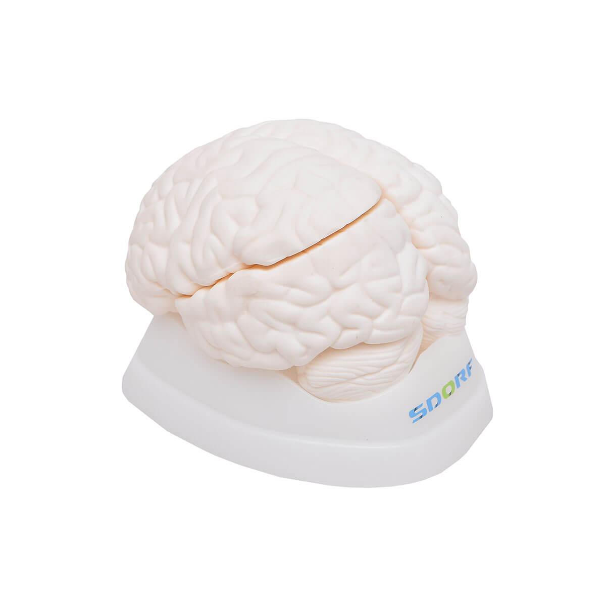 Cérebro em Tamanho Natural em 3 Partes