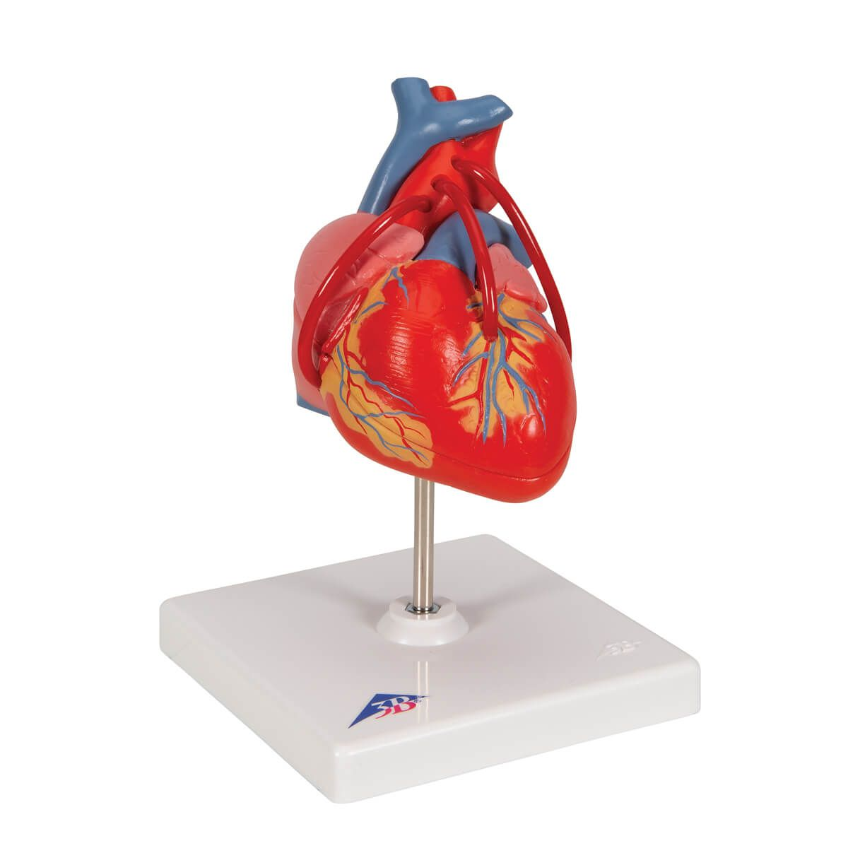 Coração Clássico com Pontagem Coronária, 2 Partes