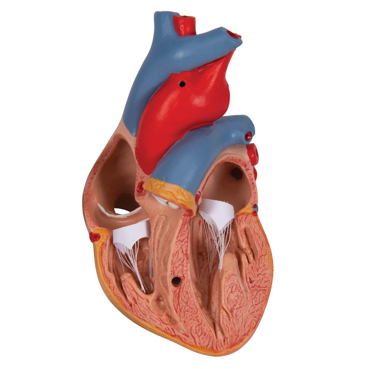 Coração Clássico com Timo, 3 Partes
