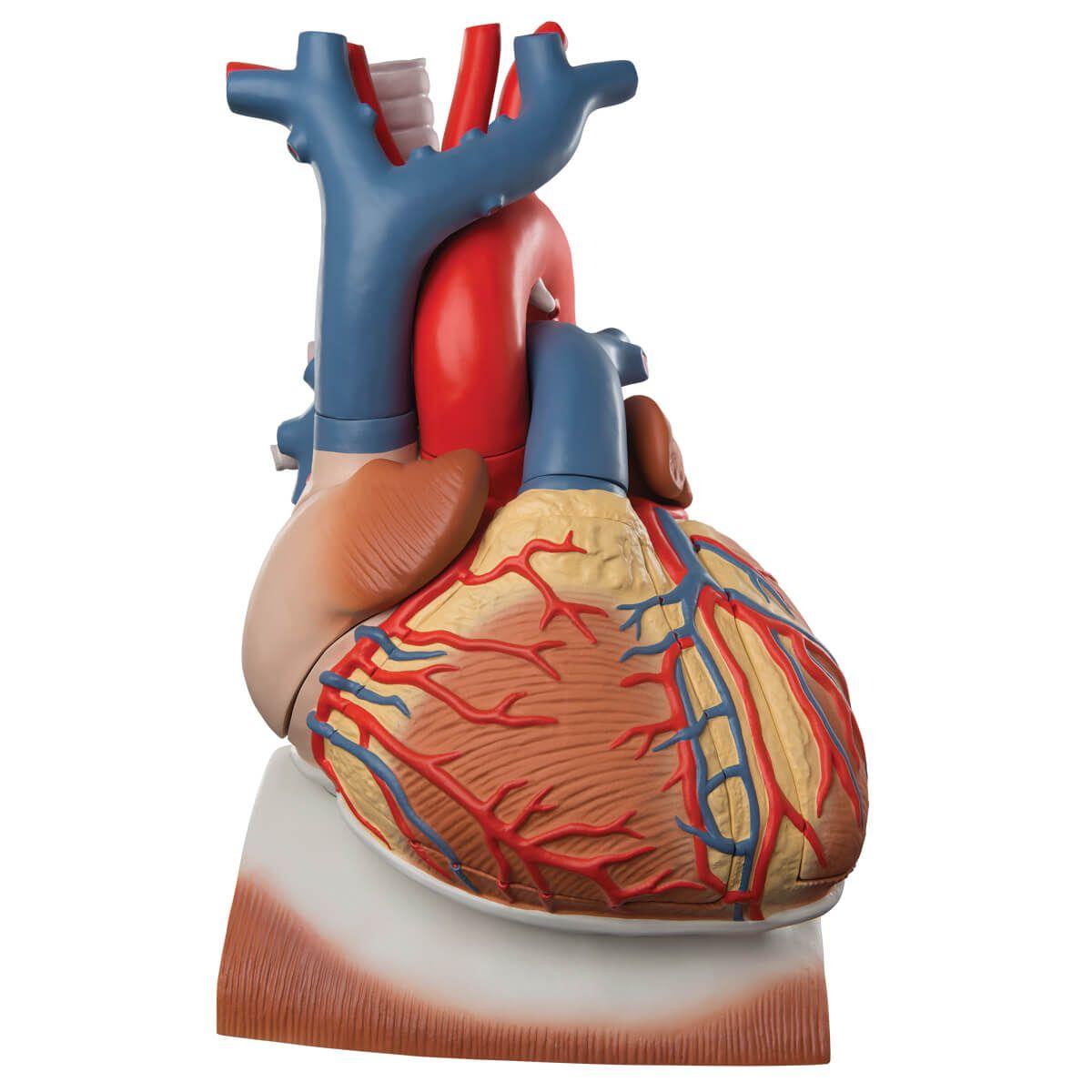 Coração com Diafragma, 3 Vezes O Tamanho Natural, 10 Partes
