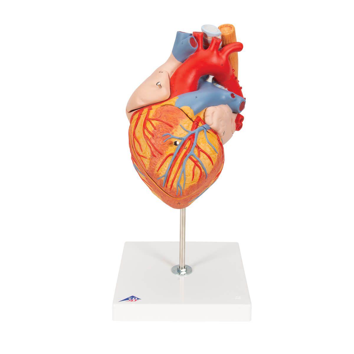 Coração com Esôfago E Traqueia, 2 Vezes O Tamanho Natural, 5 Partes