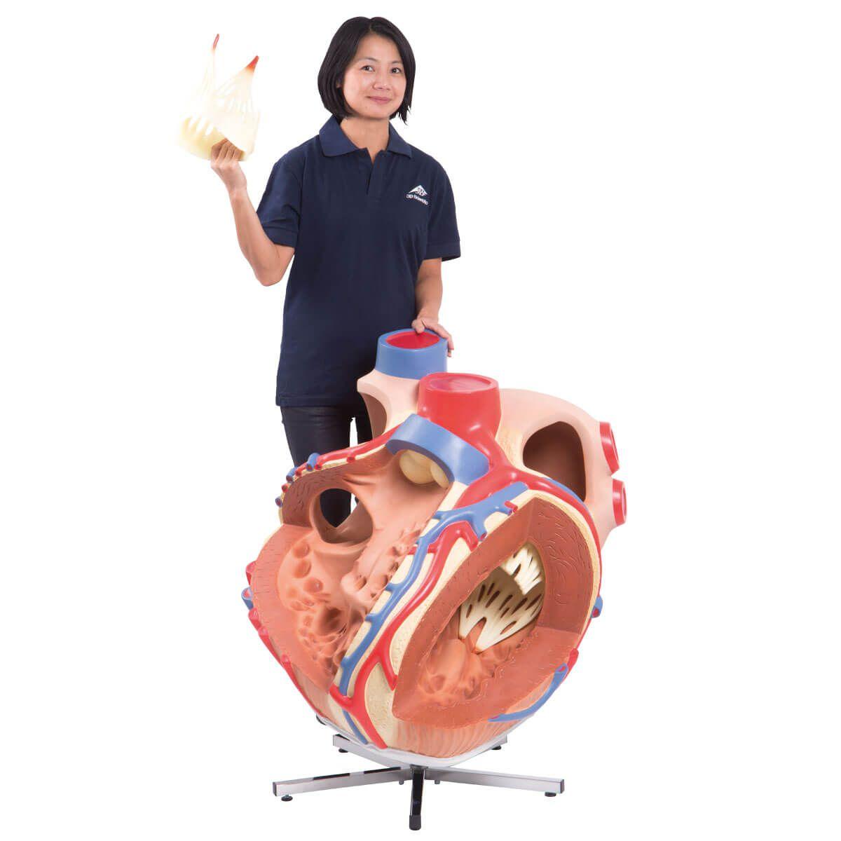 Coração Gigante, 8 Vezes O Tamanho Natural