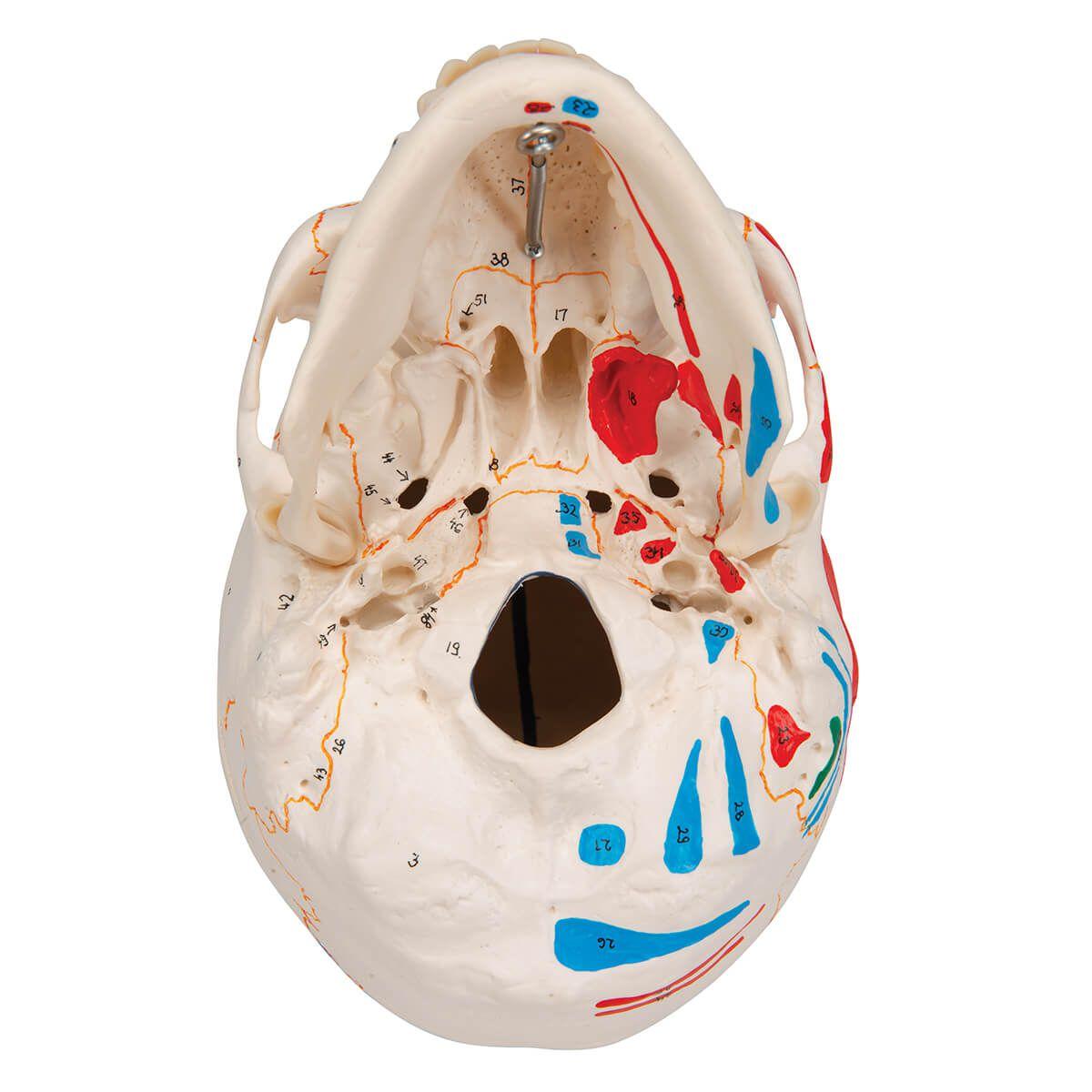 Crânio Clássico, Colorido