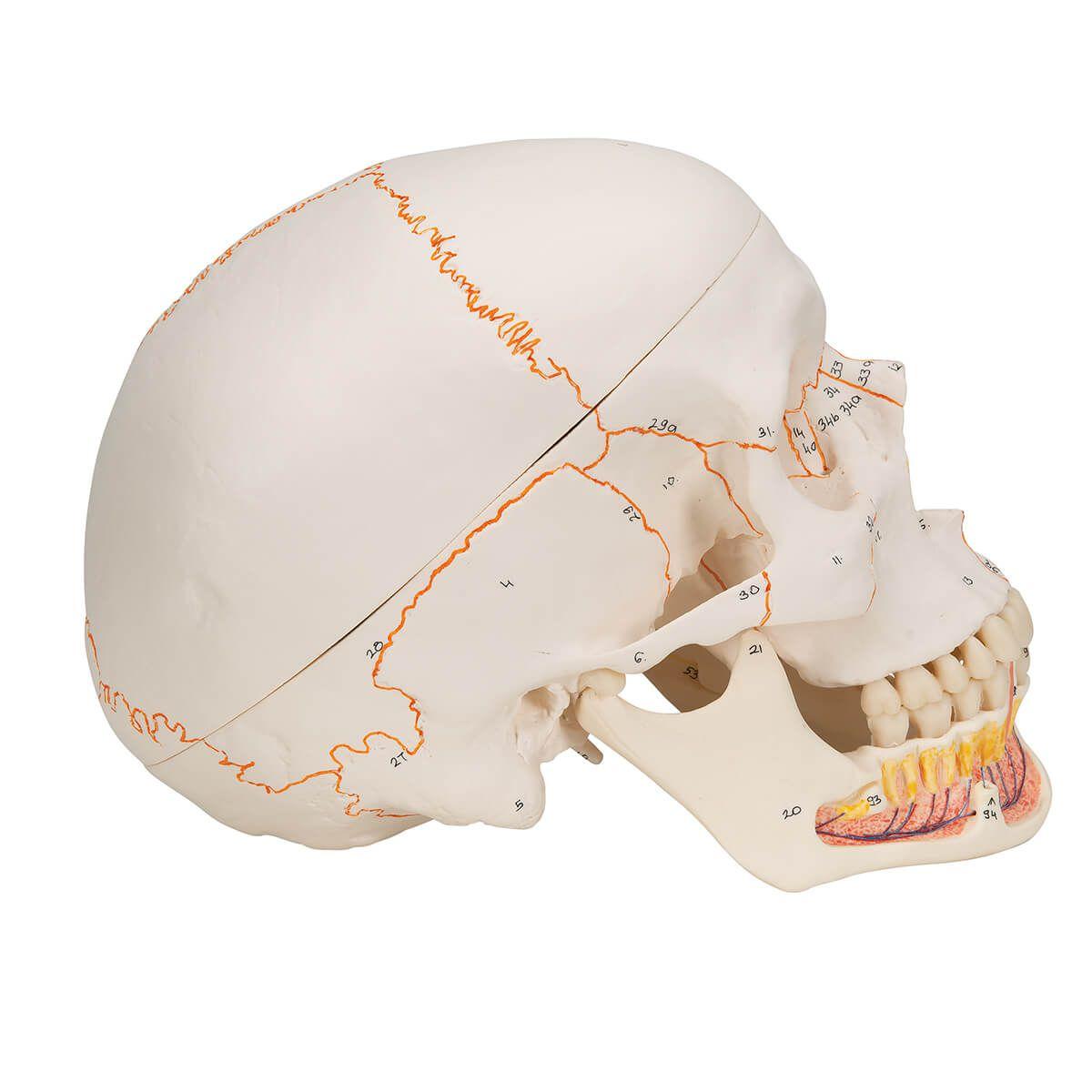 Crânio Clássico com Mandíbula Aberta Estruturas Numeradas, 3 Parte