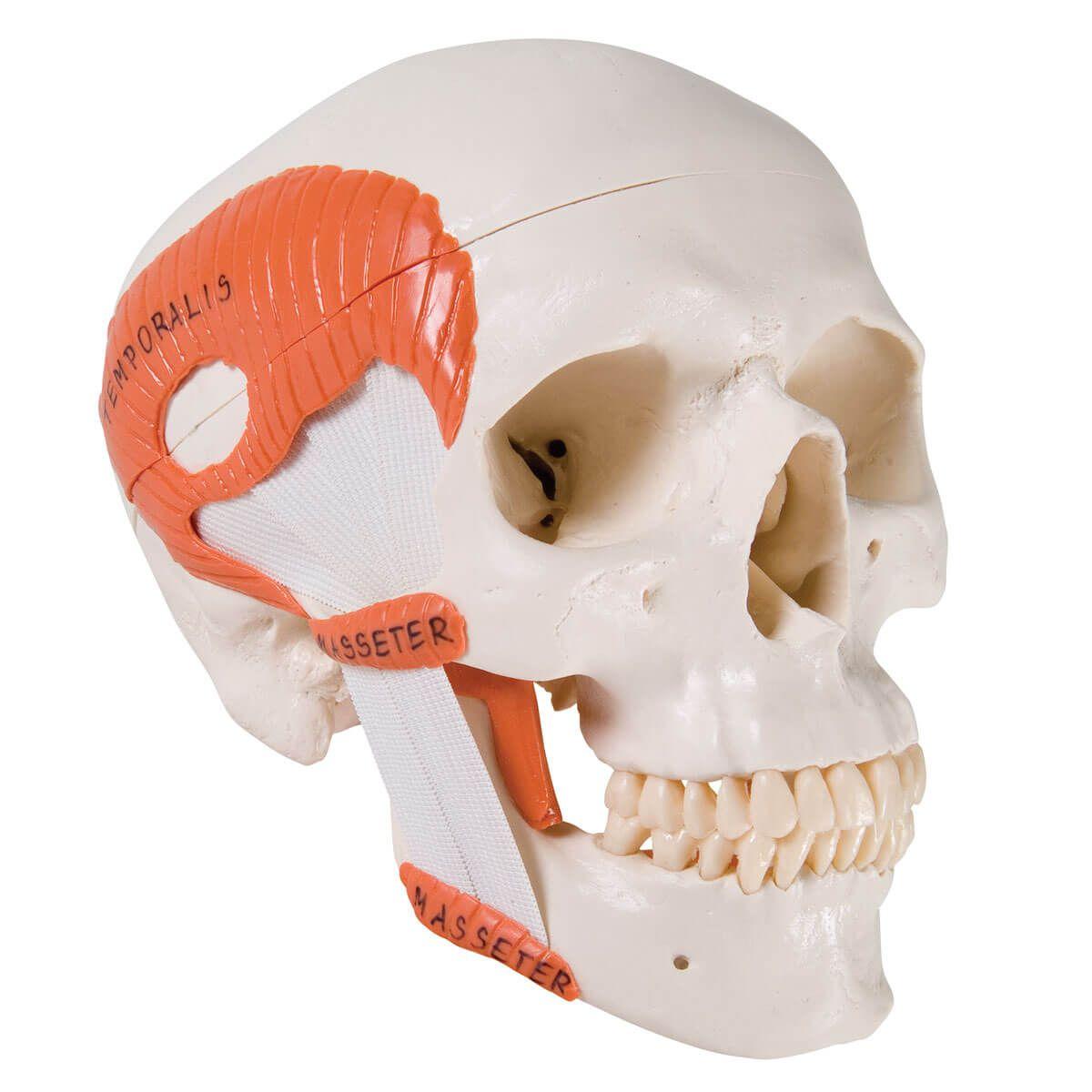 Crânio Clássico com Músculos de Mastigação, 2 Peças