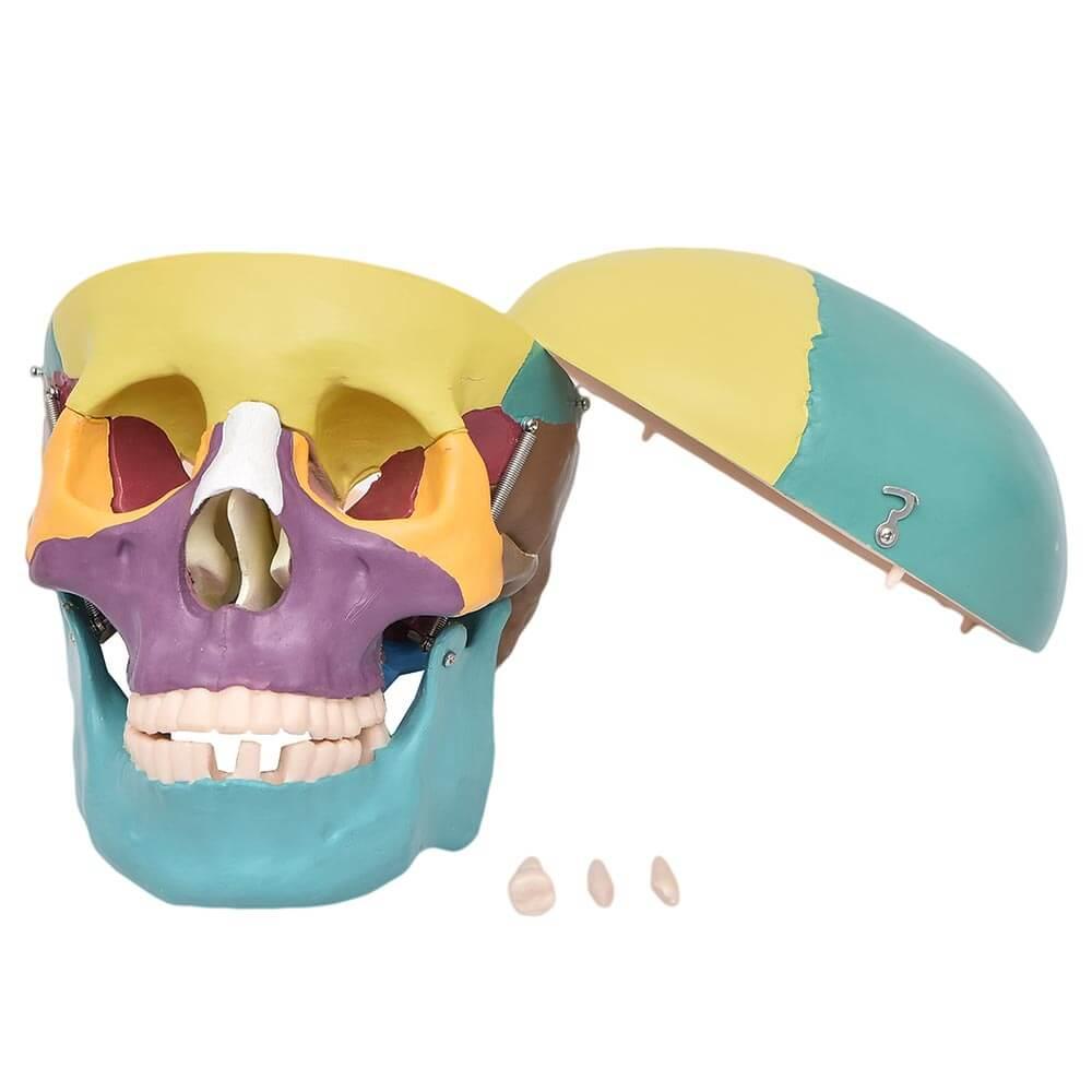 Crânio Colorido c/ Mandíbula Móvel