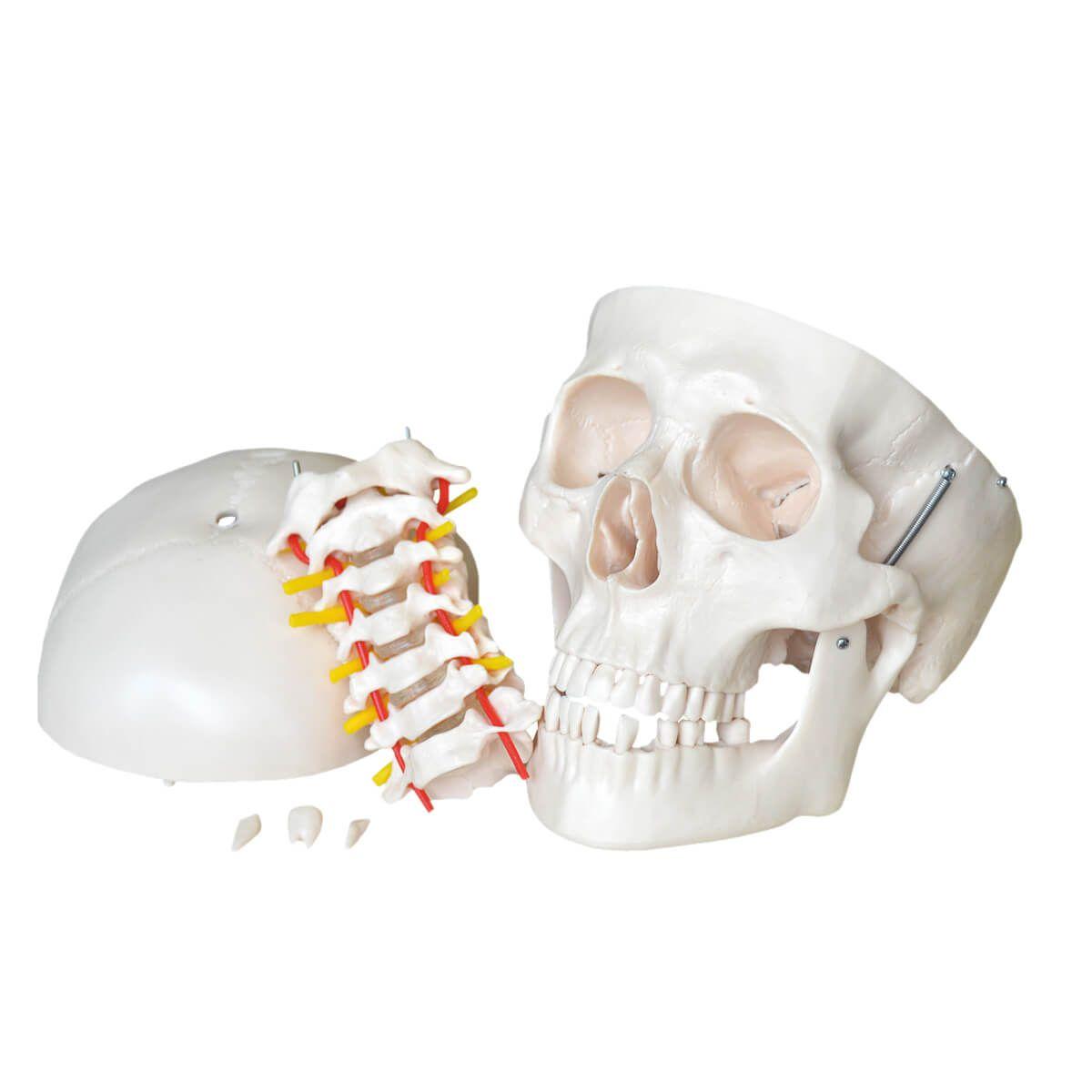 Crânio com Coluna Cervical