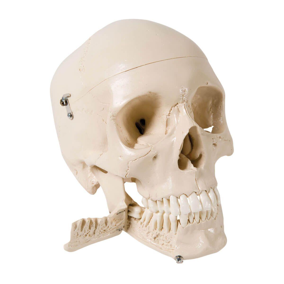 Crânio com Dentes Extraíveis, 4 Peças