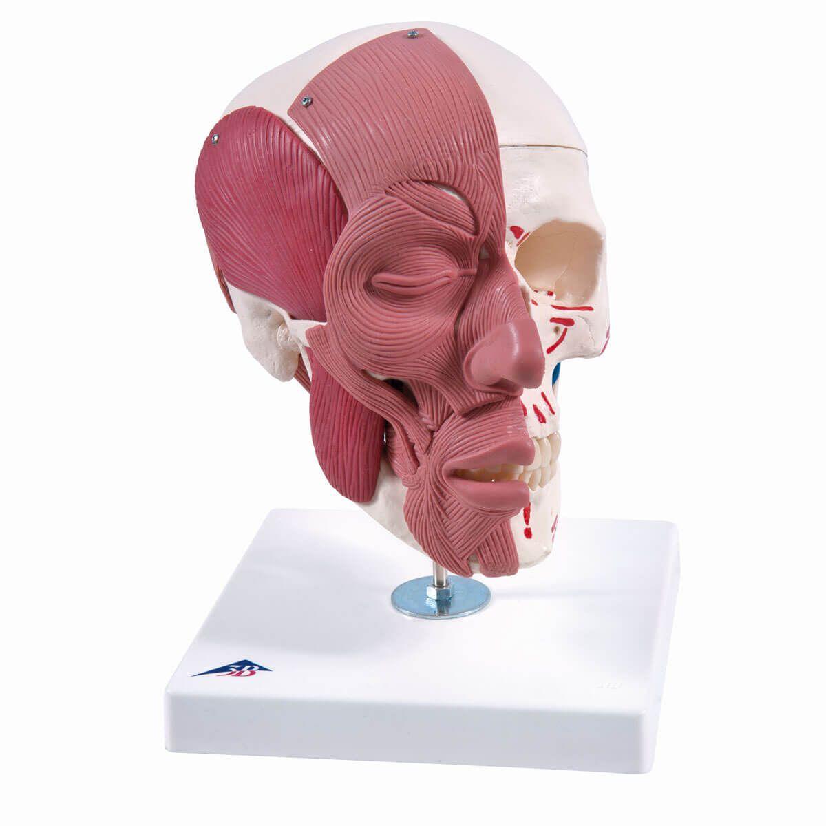 Crânio com Músculos Faciais