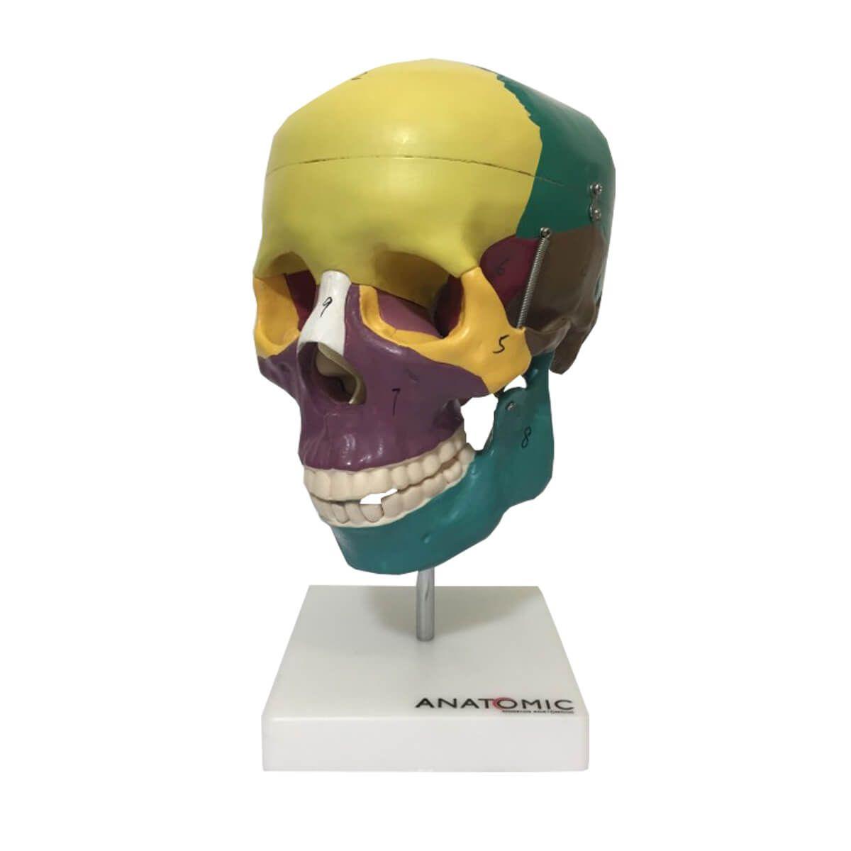 Crânio Didático Colorido em 5 Partes