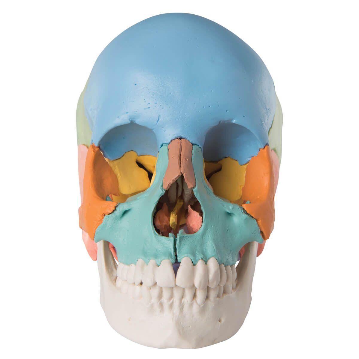 Crânio Explodido 3b Scientific - 22 Partes - Cores Didáticas