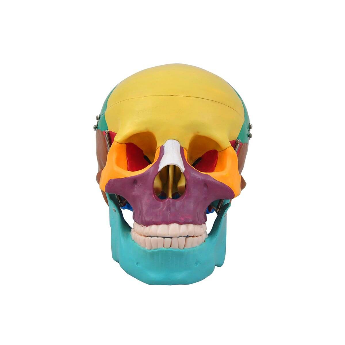 Cranio Humano Adulto Colorido Pvc Mandibula Movel Anatomia E Fisiologia