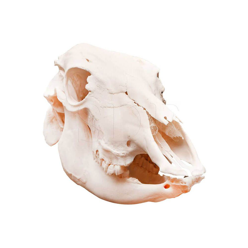 Crânio Natural de Vaca (bos Taurus)