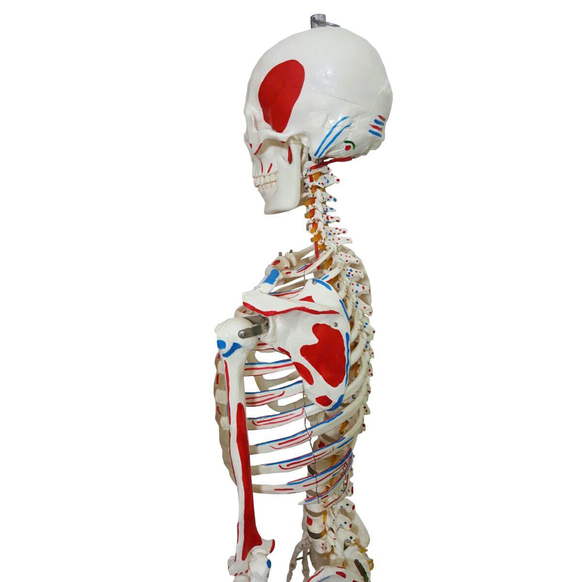 Esqueleto 168 Cm, Articulado, com Inserções Musculares, com Suporte E Base com Rodas