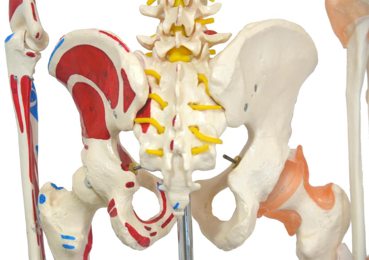 Esqueleto 168 Cm, com Ligamentos E Inserções Musculares, com Suporte E Base com Rodas