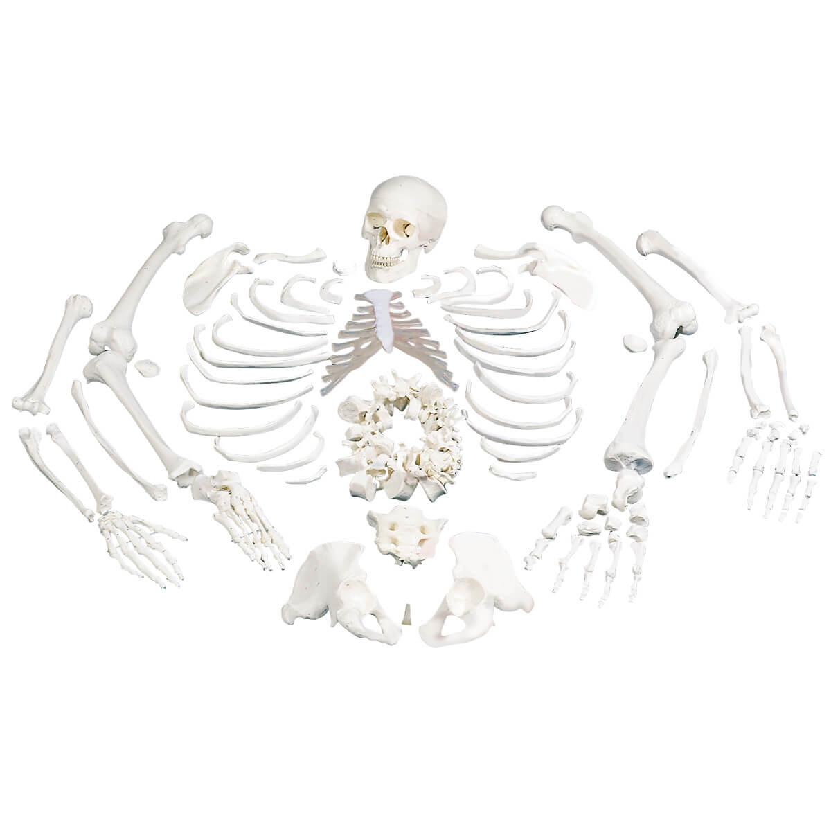 Esqueleto Completo Desarticulado