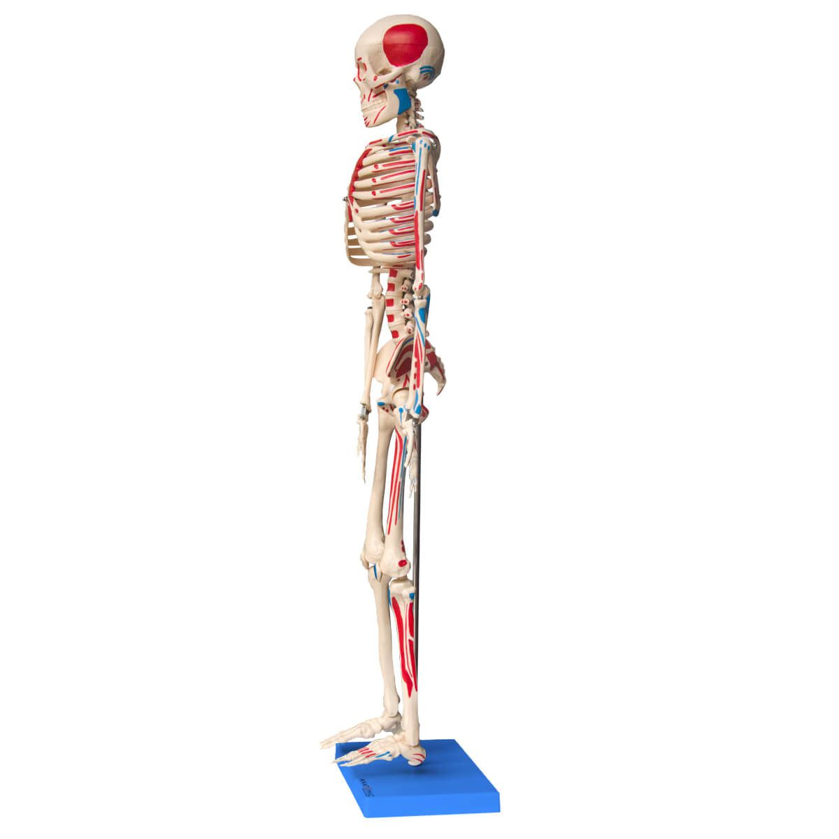 Esqueleto de 85 Cm, Articulado, com Inserções Musculares, com Base
