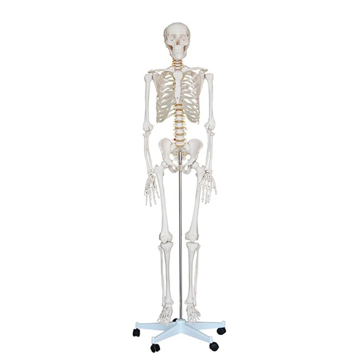 Esqueleto Humano 180 Cm de Altura c/ Suporte E Rodas