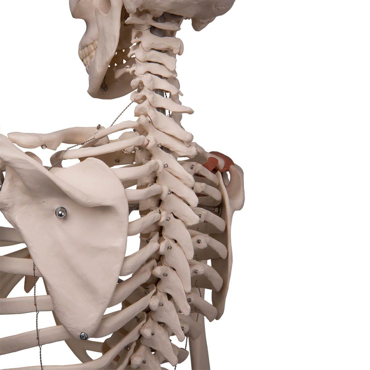 Esqueleto Leo A12 com Ligamentos Articulados, em Suporte de Metal com 5 Rolos