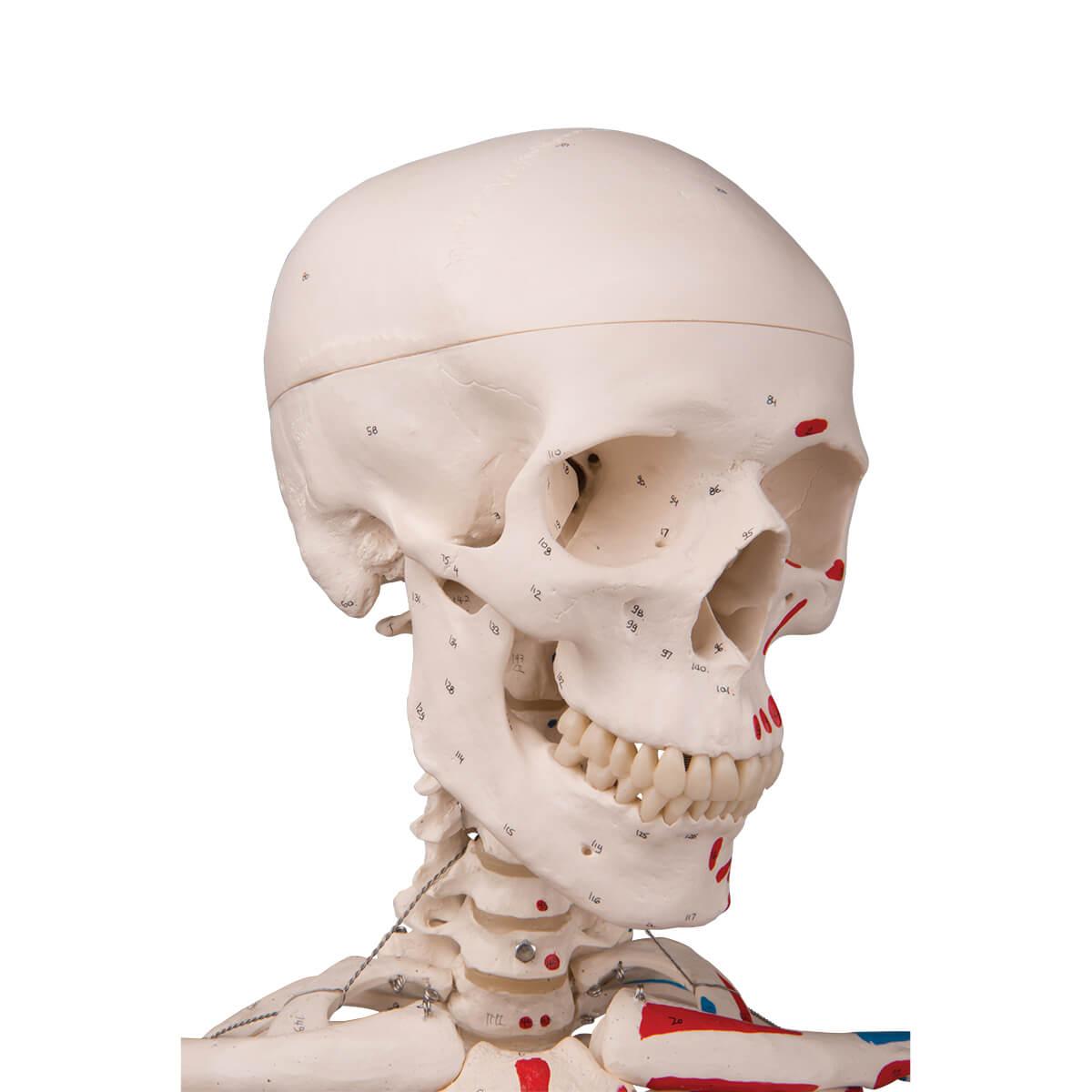 Esqueleto Max A11 com Representação Dos Músculos, em Suporte de Metal com 5 Rolos