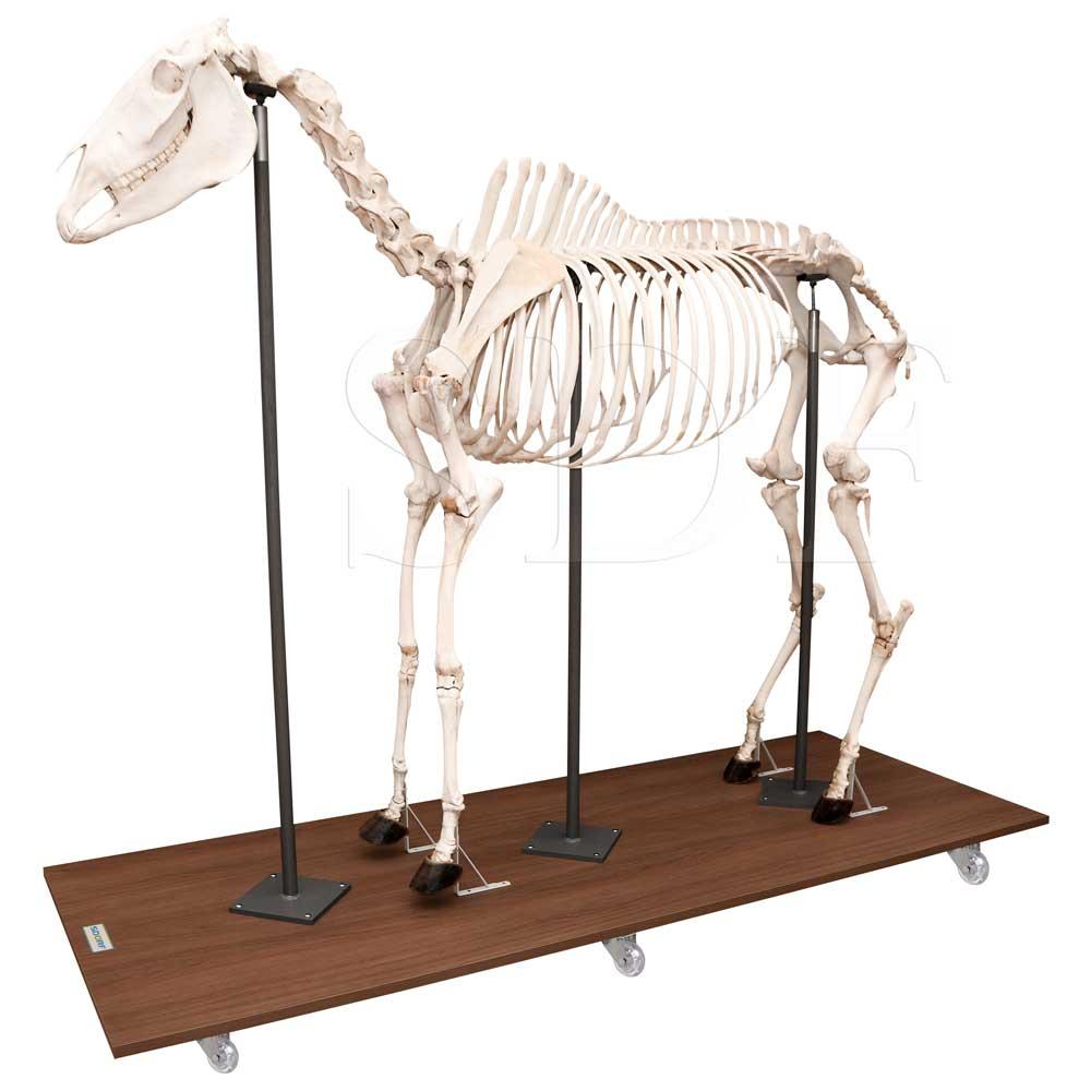 Esqueleto Natural Articulado de Equino ( Equus Ferus Caballus)