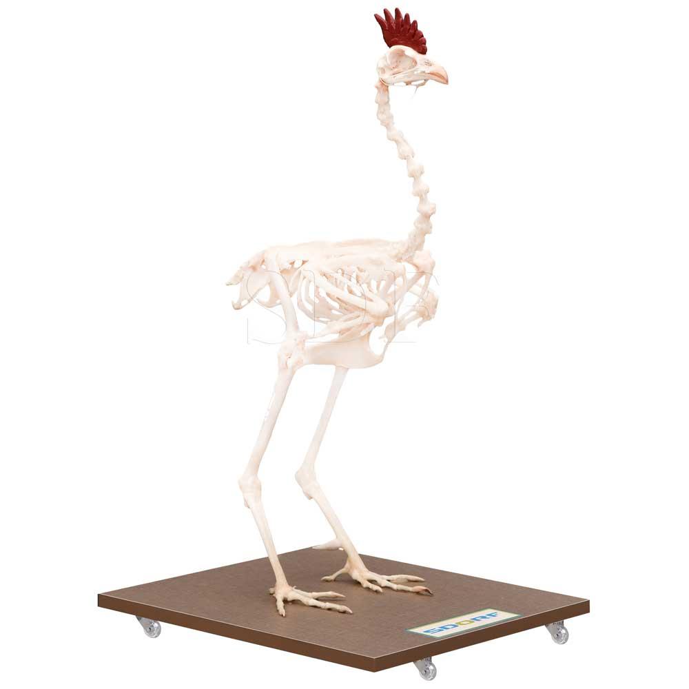 Esqueleto Natural Articulado de Galinha (gallus Gallus Domesticus)