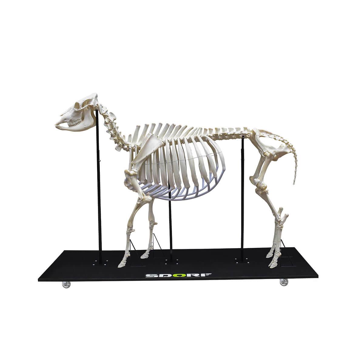 Esqueleto Natural Articulado de Vaca (bostaurus)