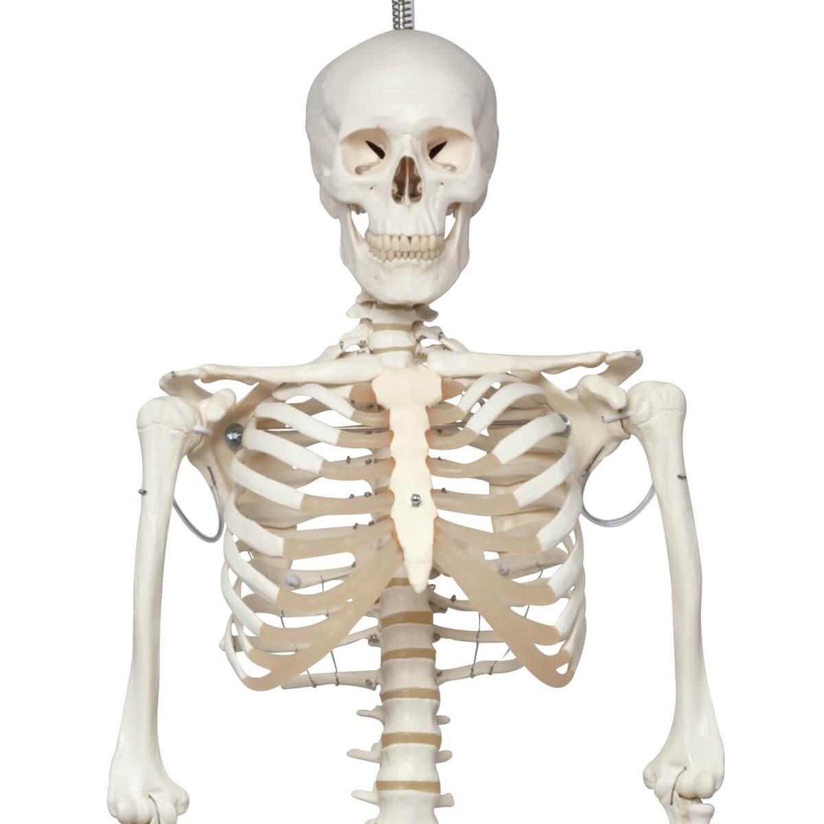 Esqueleto Phil A15/3, O Esqueleto Fisiológico em Metal de Suspensão de Metal com 5 Rolos