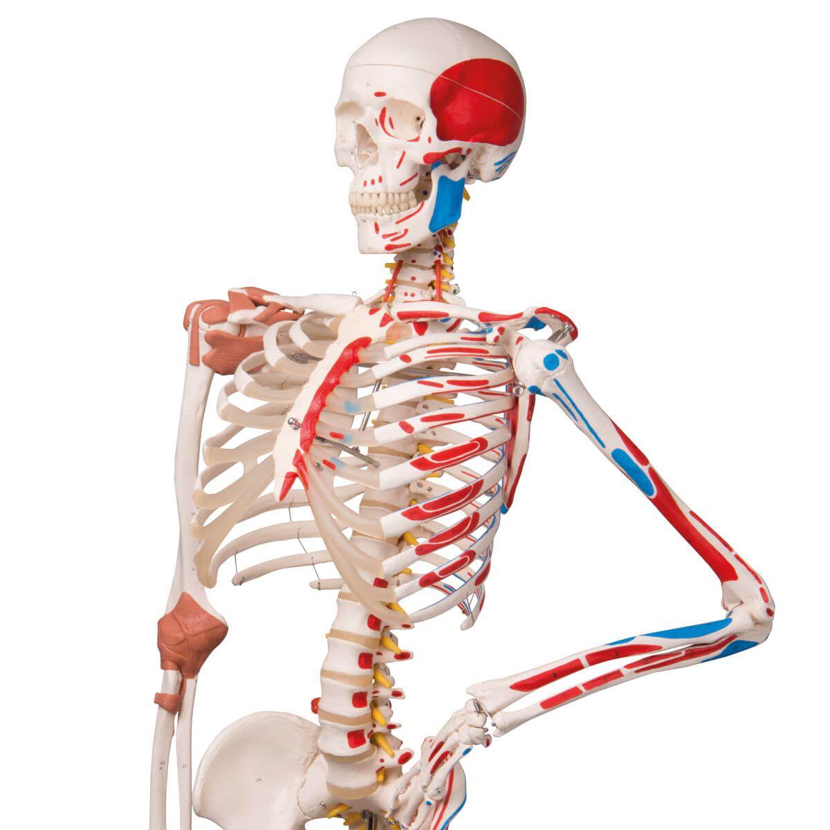 Esqueleto Sam A13 - Versão de Luxo em Suporte de Metal com 5 Rolos