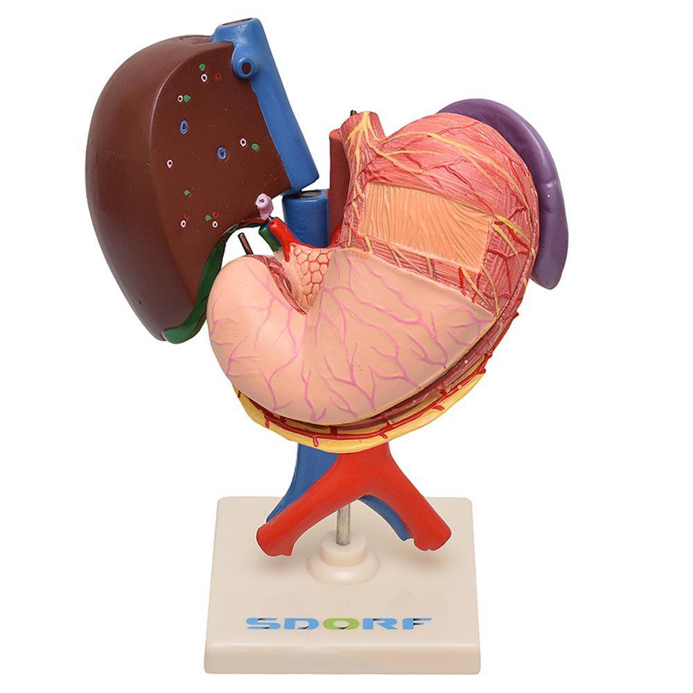 Fígado, Vesicular Biliar, Estômago, Pâncreas, Baço E Duodeno em 6 Partes